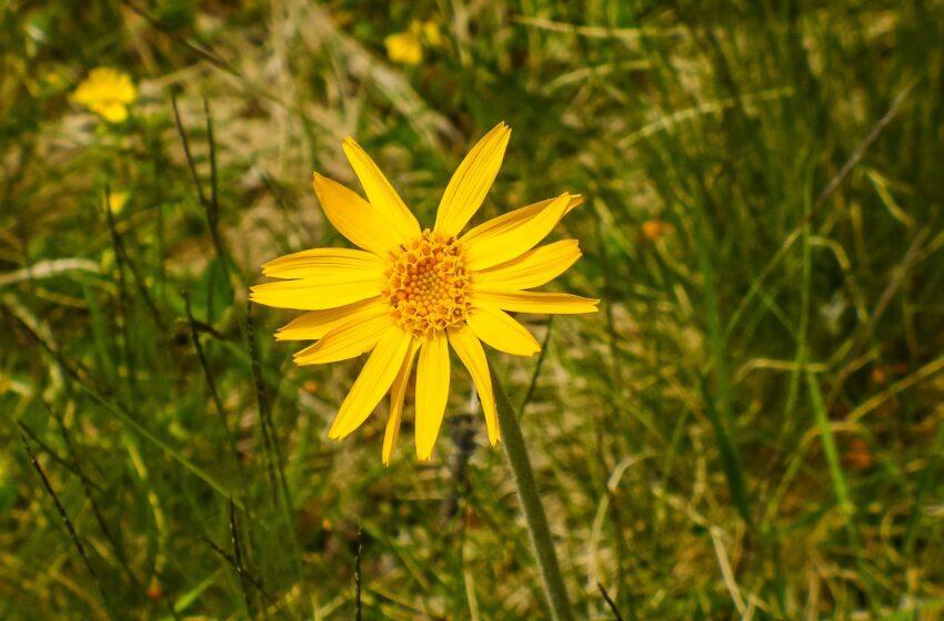 L' Arnica: antinfiammatorio e analgesico naturale