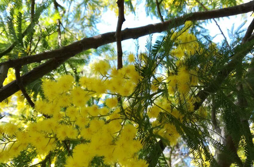 La mimosa è in fiore